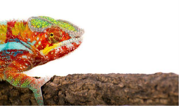chameleon700x400_905622